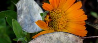 ringelblumen im herbst