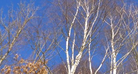 birke vor blauem himmel