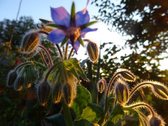 borretsch blüte