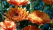 kürbis orange chrysanthemen