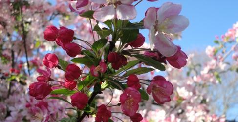 Apfelblüte in glastonbura