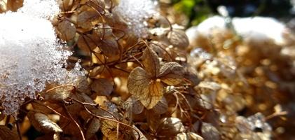 hortensienblüten winter