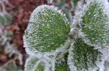 frost zauber laub