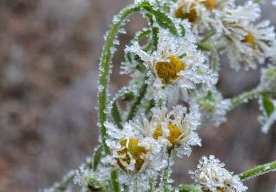 blüten im winterfrost